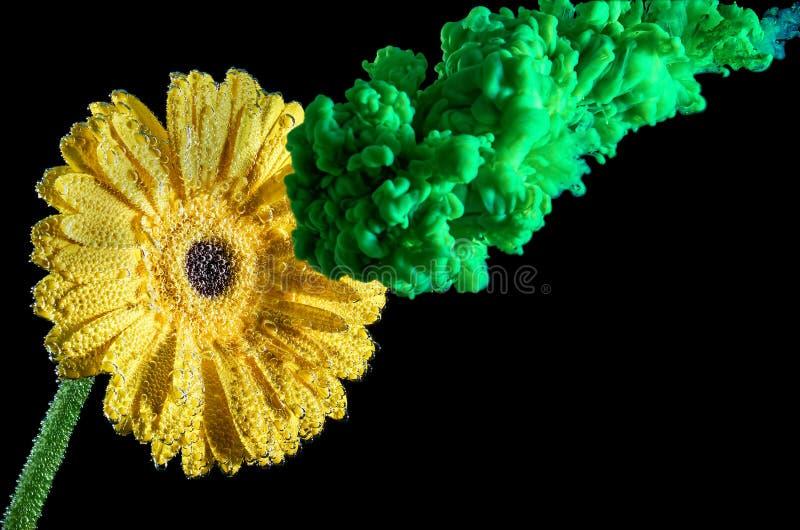 Grön färgpulverfärgstänk på den gula blomman Färgpulver i vatten med blomman Isolerat p? svart bakgrund arkivbilder