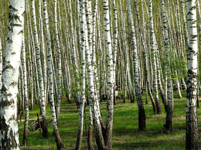 Grön fågelskog under våren Odling av björnträd med gröna blad på våren arkivfoton