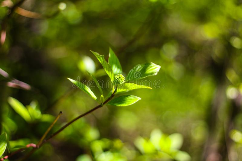 Grön filial av en Bush med sidor royaltyfri fotografi
