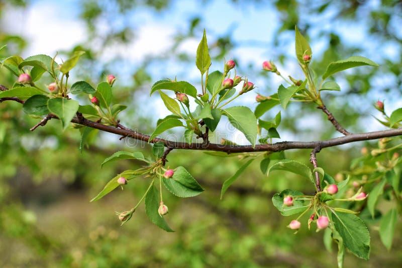 Grön filial med den rosa blomningen i sommarnärbild arkivfoto