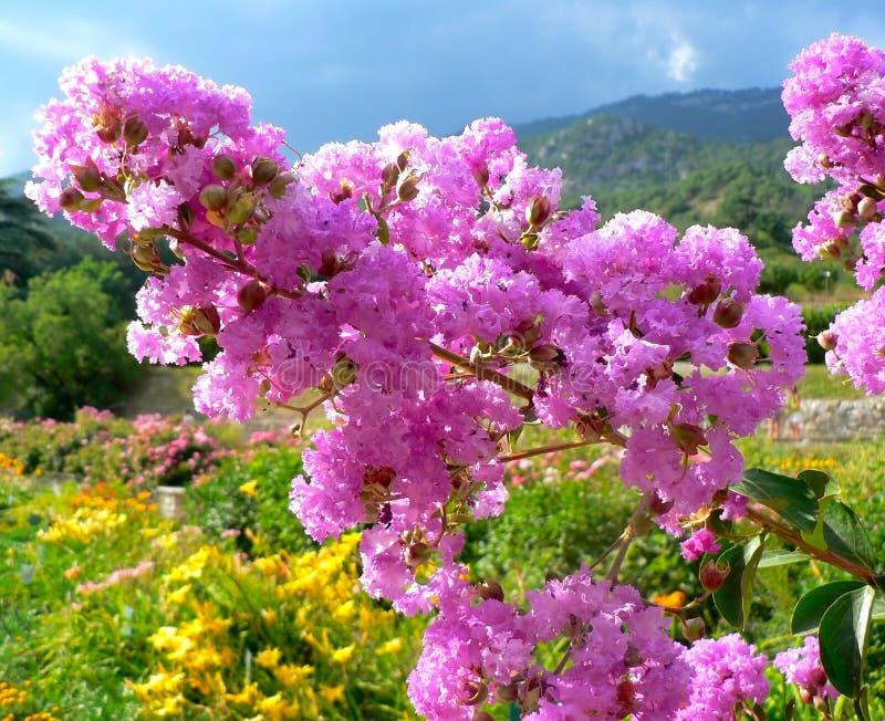 Grön filial med rosa lila blommor royaltyfria foton
