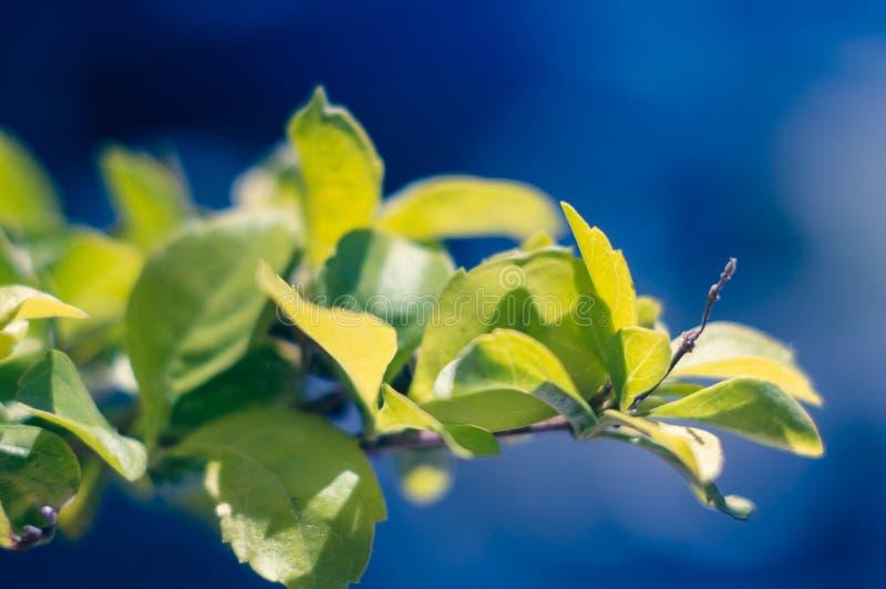 Grön filial på solen på en blå bakgrund Begreppet av bra väder, stort lynne konstn?rlig bakgrund Mjuk fokus som väljs arkivfoto
