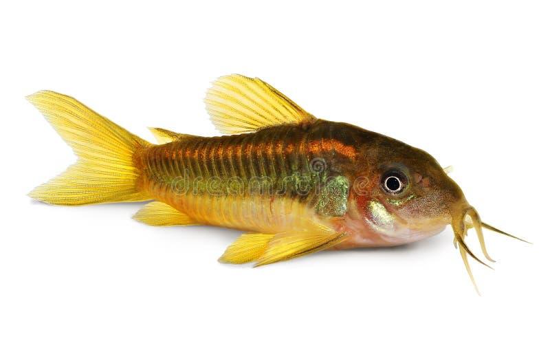 Grön fisk för laser Cory Corydoras Catfish Aquarium royaltyfria bilder