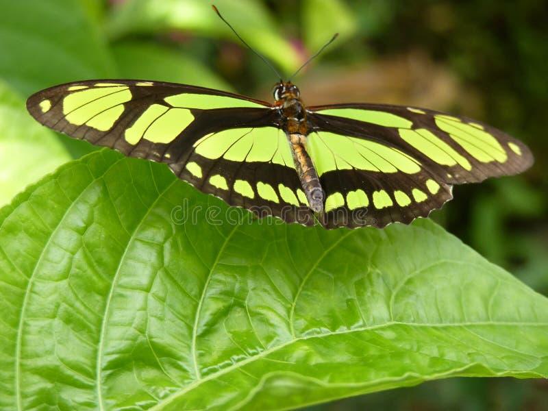 Grön fjäril arkivfoton