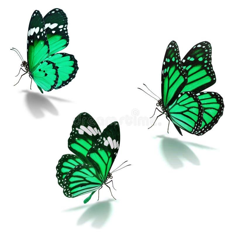 Grön fjäril för monark tre royaltyfria foton
