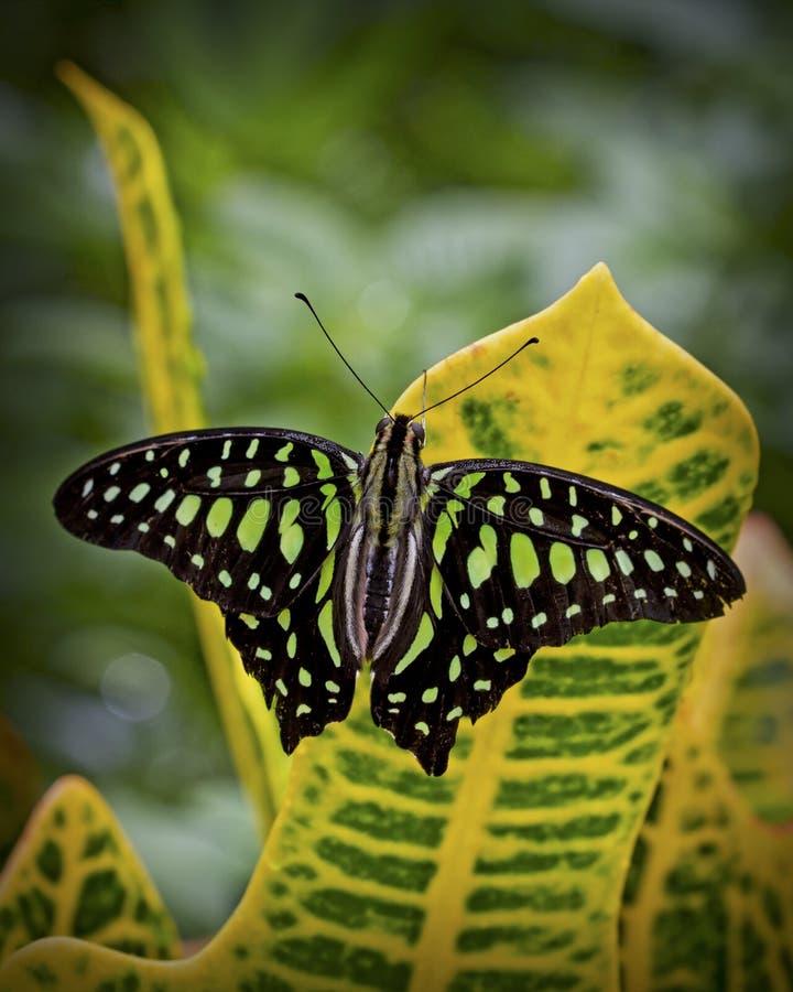Grön fjäril på den gula tropiska växten royaltyfri fotografi