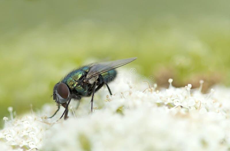 Grön fluga på blomman royaltyfria bilder