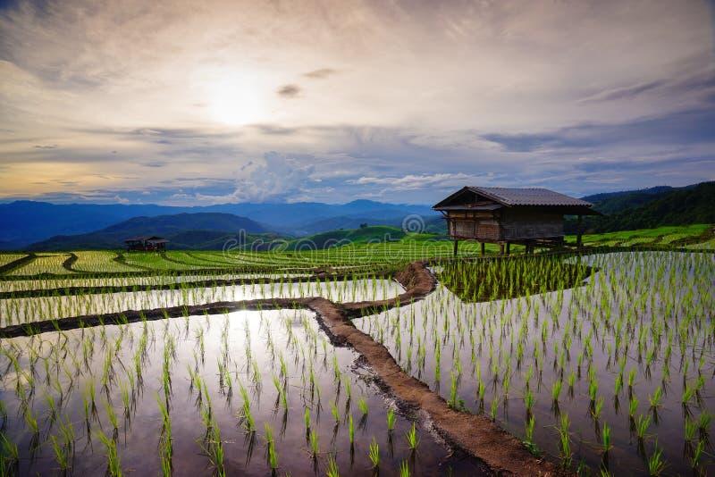 grön frodig rice för fält Chiang Mai thailand royaltyfri fotografi