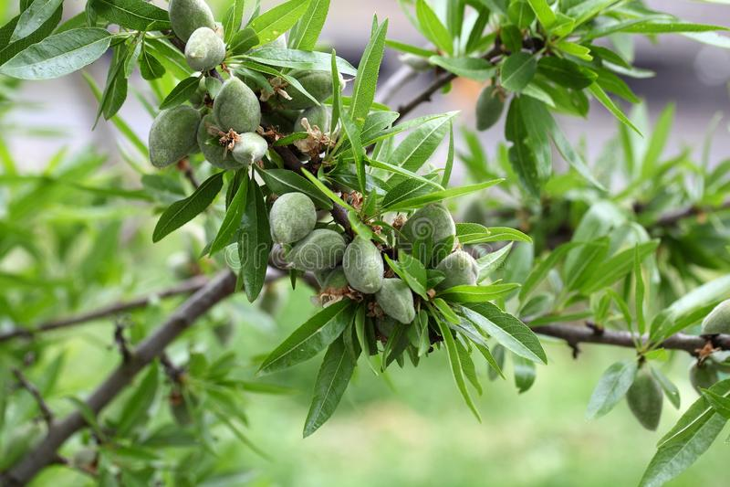 Grön frukt av ett mandelträd royaltyfria bilder