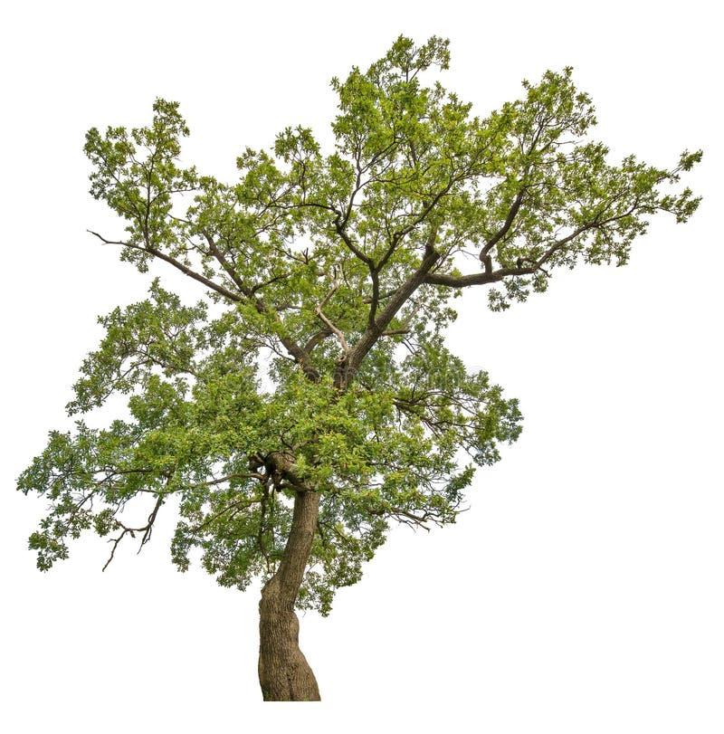 Grön gammal ek som isoleras på vit arkivbilder