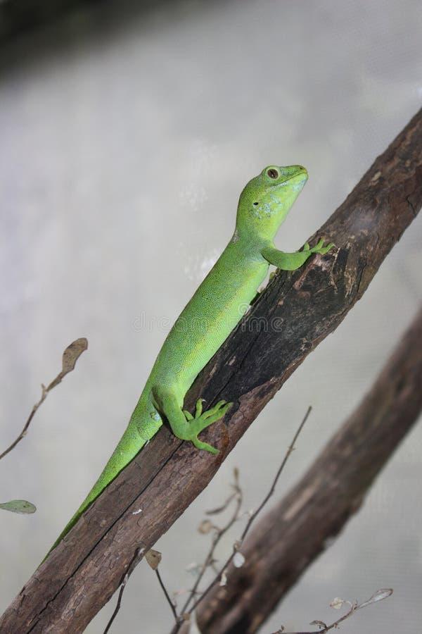 Grön gecko på filial arkivfoton