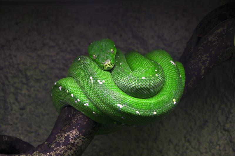 grön giftig orm royaltyfria bilder