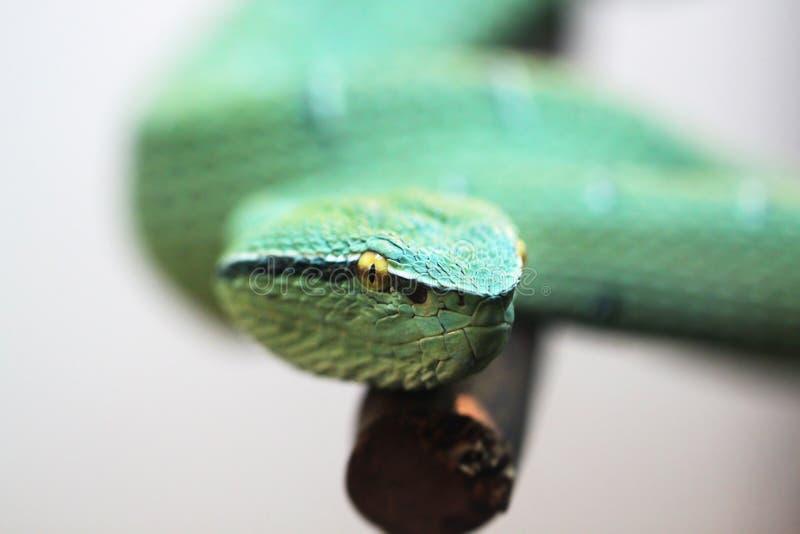 Grön giftig orm royaltyfri fotografi