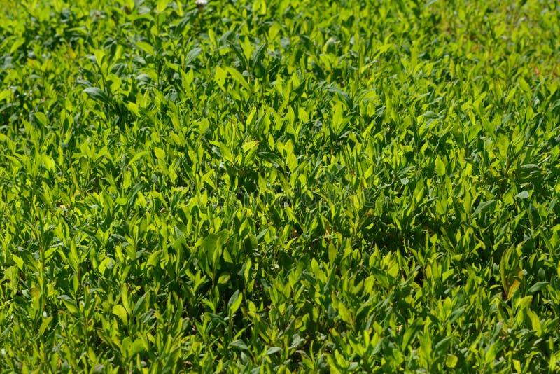 Grön gräsbakgrund Nya örter i solig sommardag arkivfoto