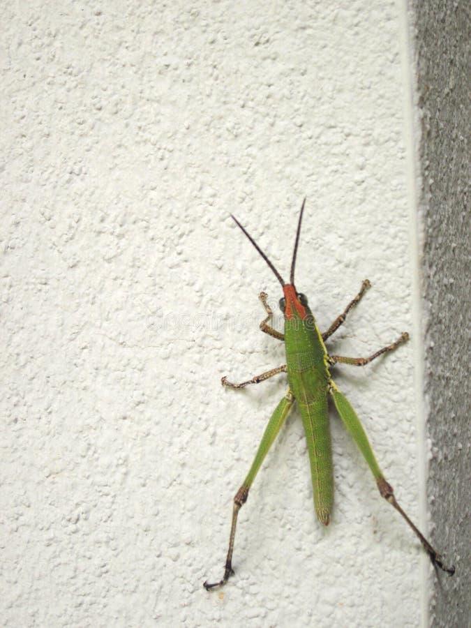 Grön gräshoppa royaltyfria bilder