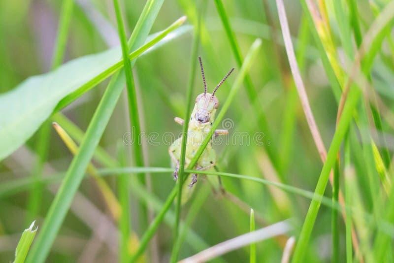 Grön gräshoppa i gräset arkivfoton