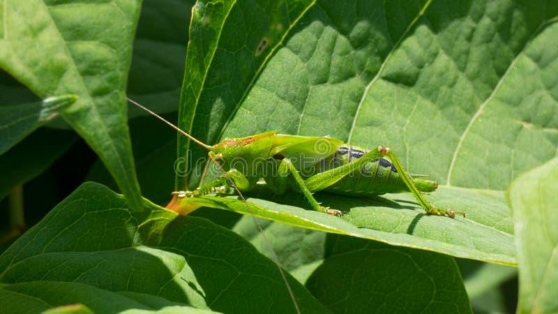Grön gräshoppa på en leaf royaltyfria bilder