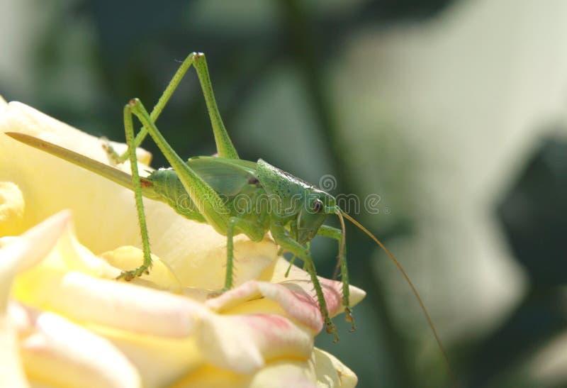 Grön gräshoppa på ros royaltyfri bild