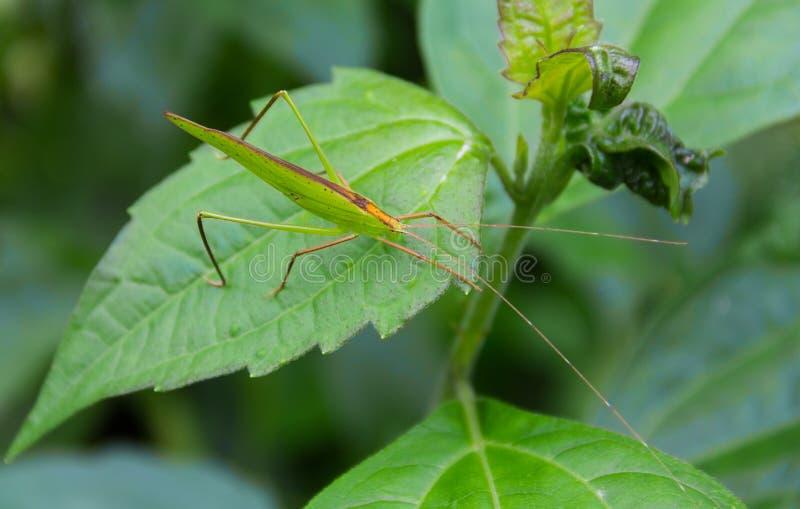 Grön gräshoppa som sätta sig på det gröna bladet arkivbild
