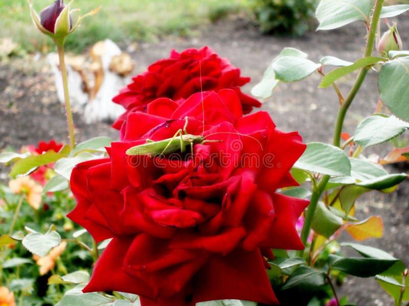 Grön gräshoppa som sitter i en scharlakansröd ros i trädgården i sommaren royaltyfri bild