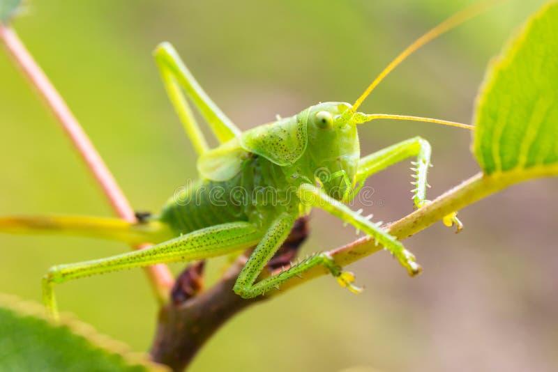 Grön gräshoppa som sitter på träd i trädgården royaltyfria bilder