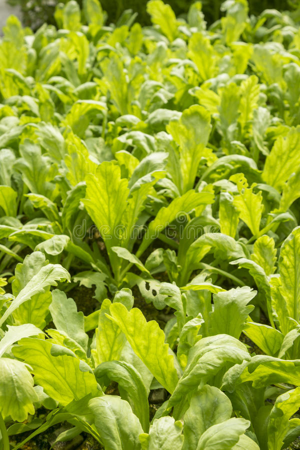 grön grönsak för lantgård royaltyfria bilder