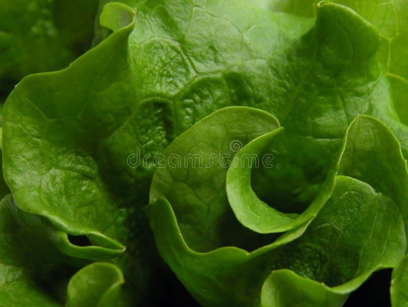 grön grönsallat royaltyfri bild