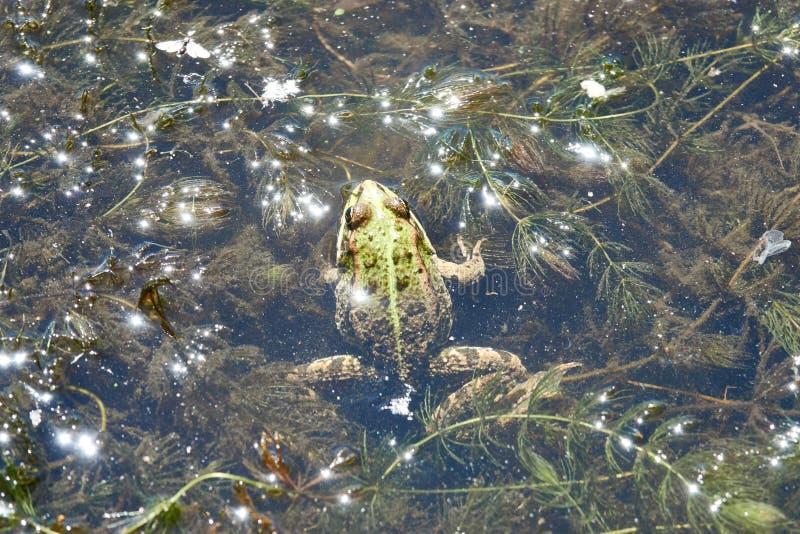 Grön groda i en flod med algen arkivfoton