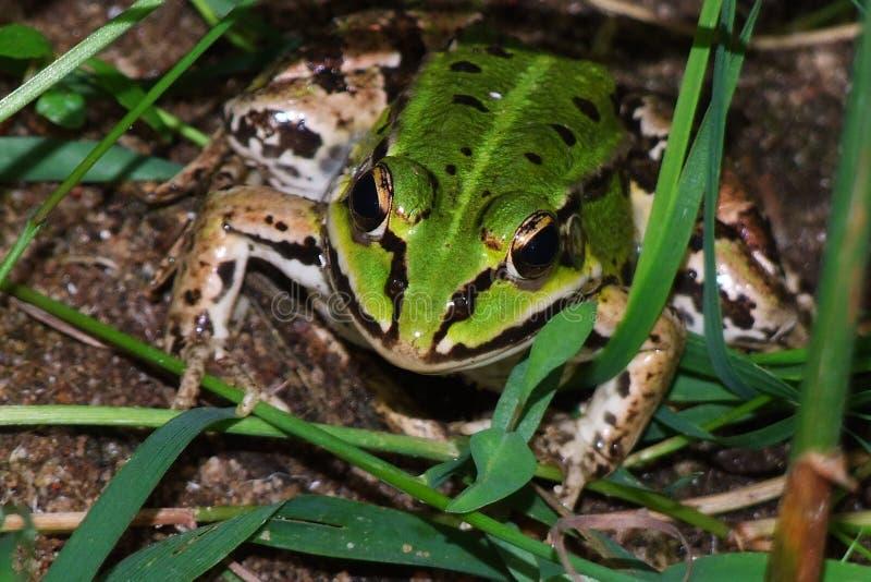 Grön groda i gräset arkivfoto
