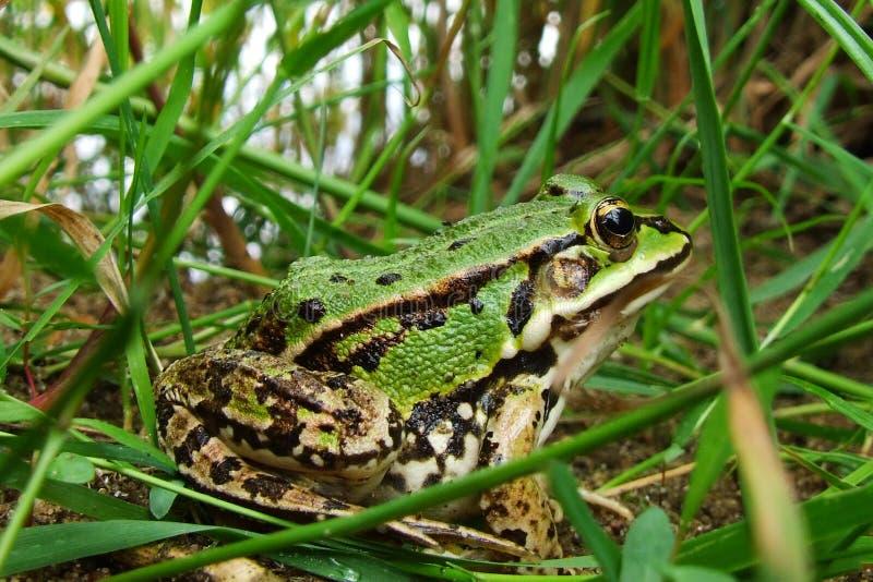 Grön groda i gräset arkivfoton