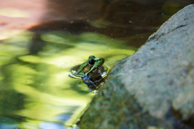 Grön groda med blåtiror i det gröna vattnet royaltyfri foto