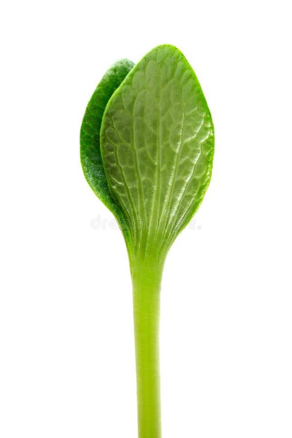 grön grodd fotografering för bildbyråer