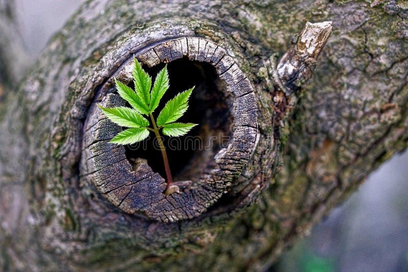 Grön grodd och fördjupning i ett gammalt träd arkivbilder