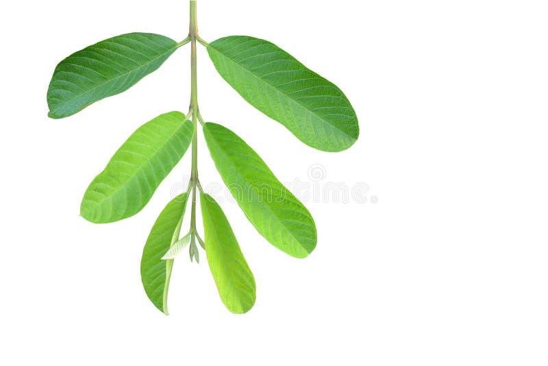 Grön guavabladfilial arkivbilder