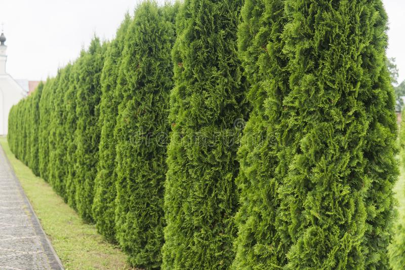 Grön häck av ThujaTrees Grön häck av det tui trädet Natur bakgrund royaltyfri fotografi