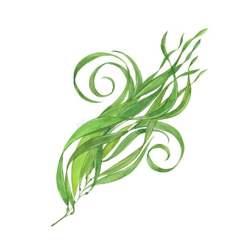 Grön havsväxt för vattenfärg vektor illustrationer