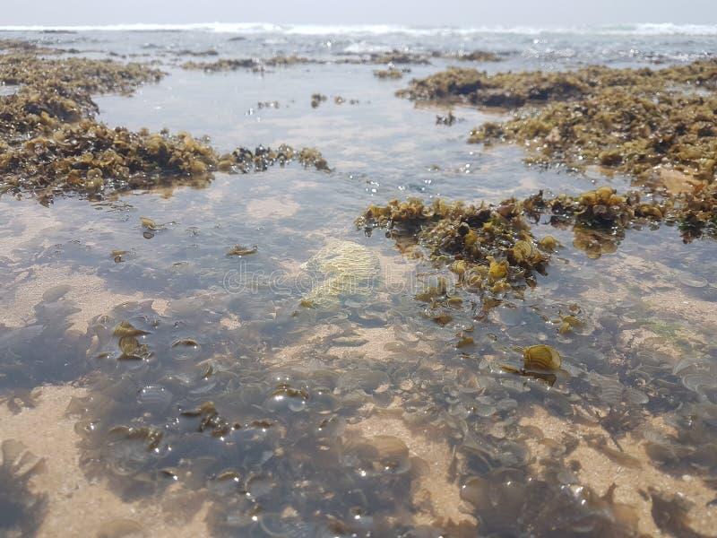 Grön havsväxt på en strand och ett blått hav royaltyfria foton