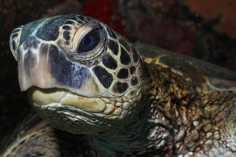 grön hawaiansk havssköldpadda arkivfoto