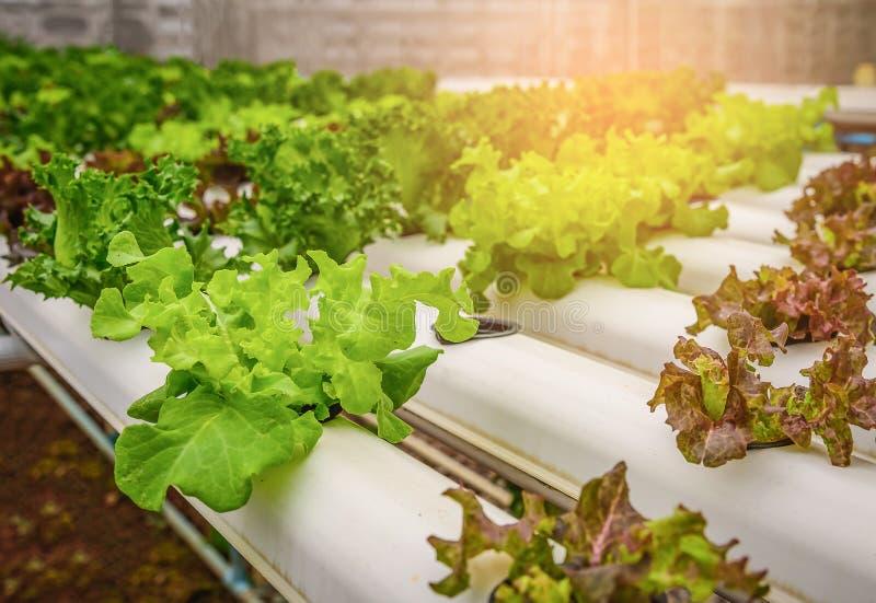 Grön hydroponic organisk salladgrönsak i lantgården, Thailand Sele arkivfoto