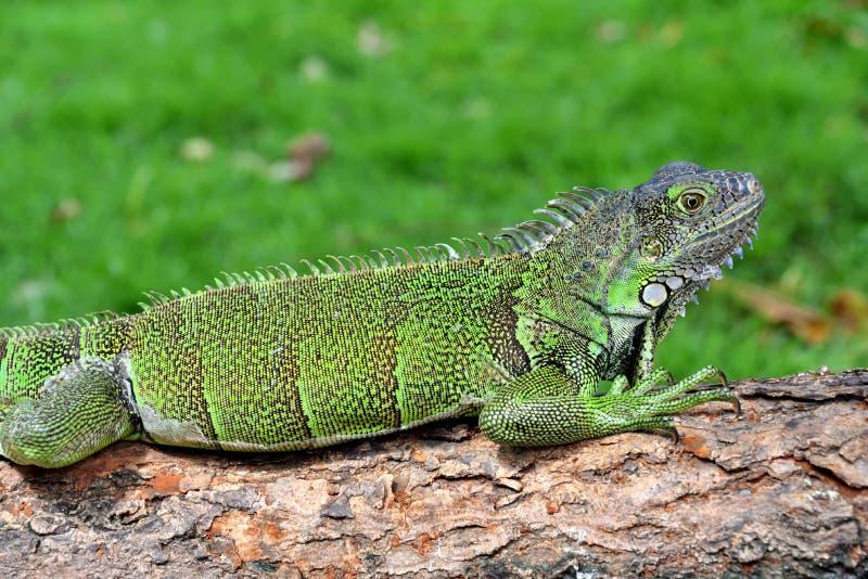 Grön IguanaIguana leguan royaltyfri fotografi