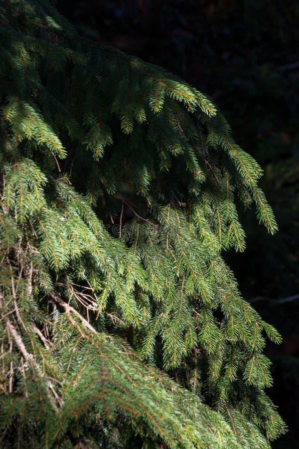 Grön julgran med den soliga skuggacloseupen Barrskogbakgrund Prydliga visare stänger sig upp Vintergrön trädbakgrund royaltyfria bilder