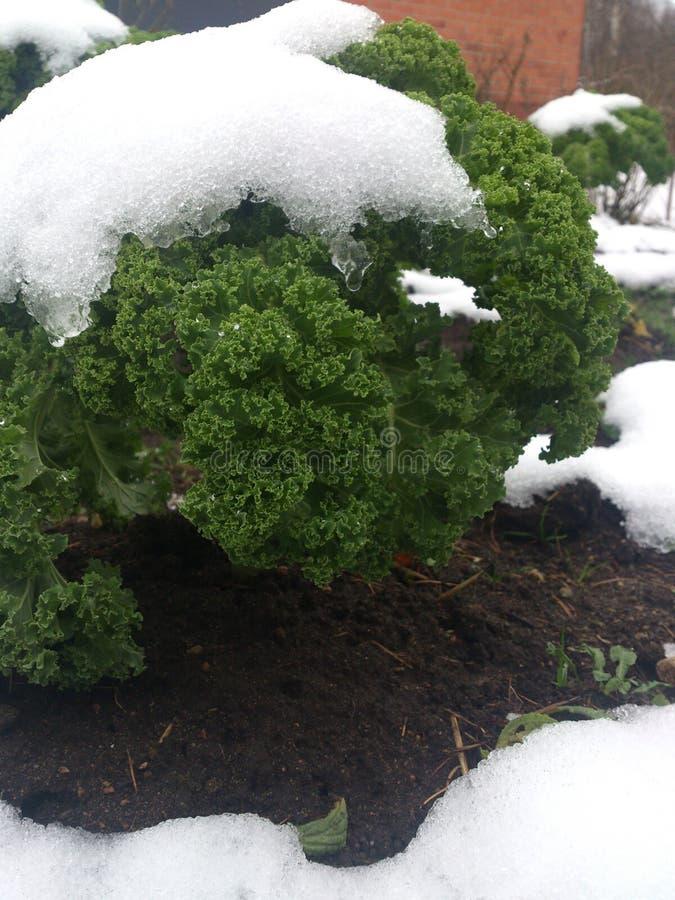 Grön kål under snö royaltyfria bilder
