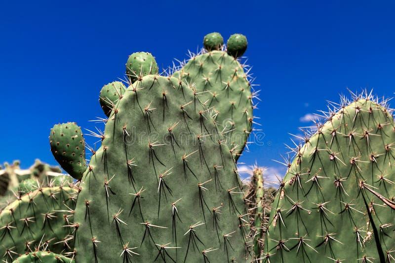Grön kaktus för taggigt päron mot en blå himmel, tropisk sommarväxt arkivfoto