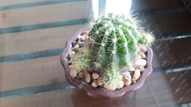 Grön kaktus i den bruna krukan som förläggas på det wood skrivbordet royaltyfria foton