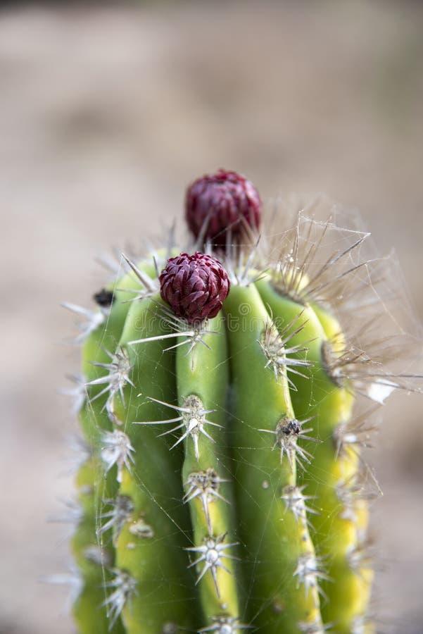 Grön kaktus med den purpurfärgade blomman arkivbild