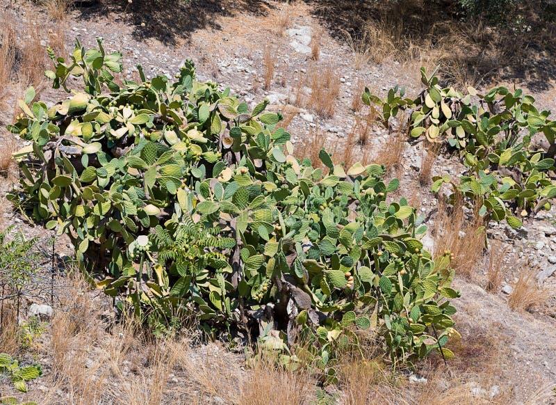 Grön kaktus med gult orange växa för frukter på en stenig öken arkivbild