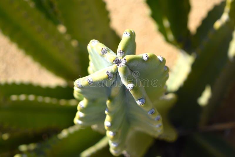 Grön kaktuscloseup royaltyfri foto