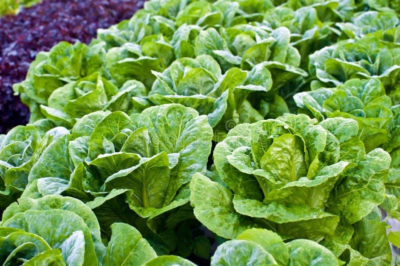 grön kale royaltyfri foto