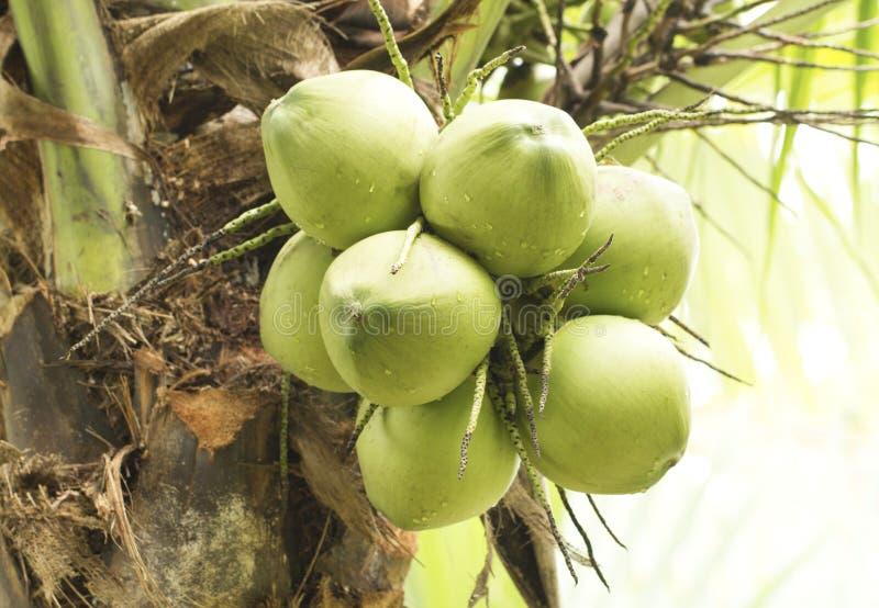 Grön kokosnötfrukt på träd arkivbilder