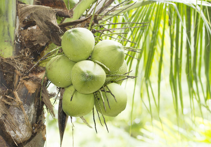 Grön kokosnötfrukt på träd arkivfoton